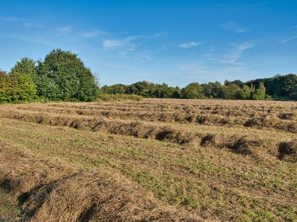 Grass piled on a mown meadow for drying, hay as feed for horses and cows stock photo