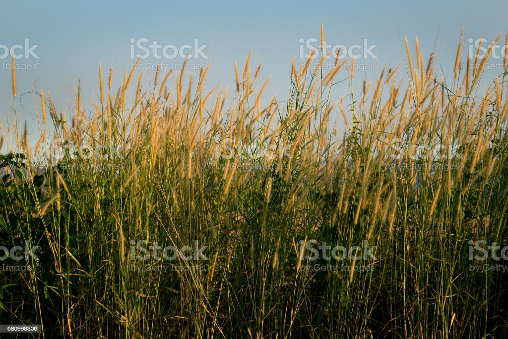 Grass Plant food for animal, grass flower are blowing by wind at rim of the road - countryside royalty-free stock photo