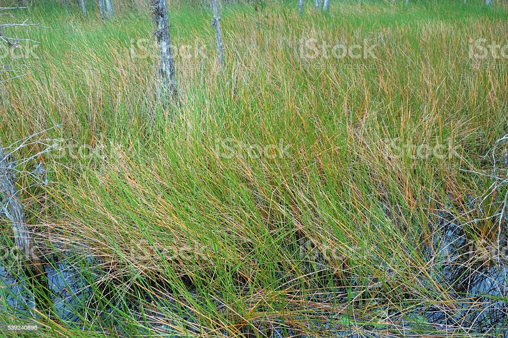 Grass reeds in watershed royalty-free stock photo