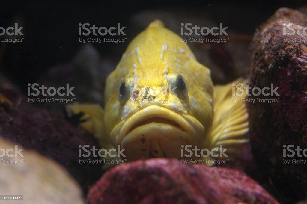 grass rockfish, Sebastes rastrelliger royalty-free stock photo