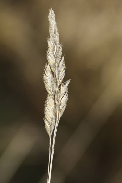 grass seed heads close up sepia colours - whiteway stock photos and pictures