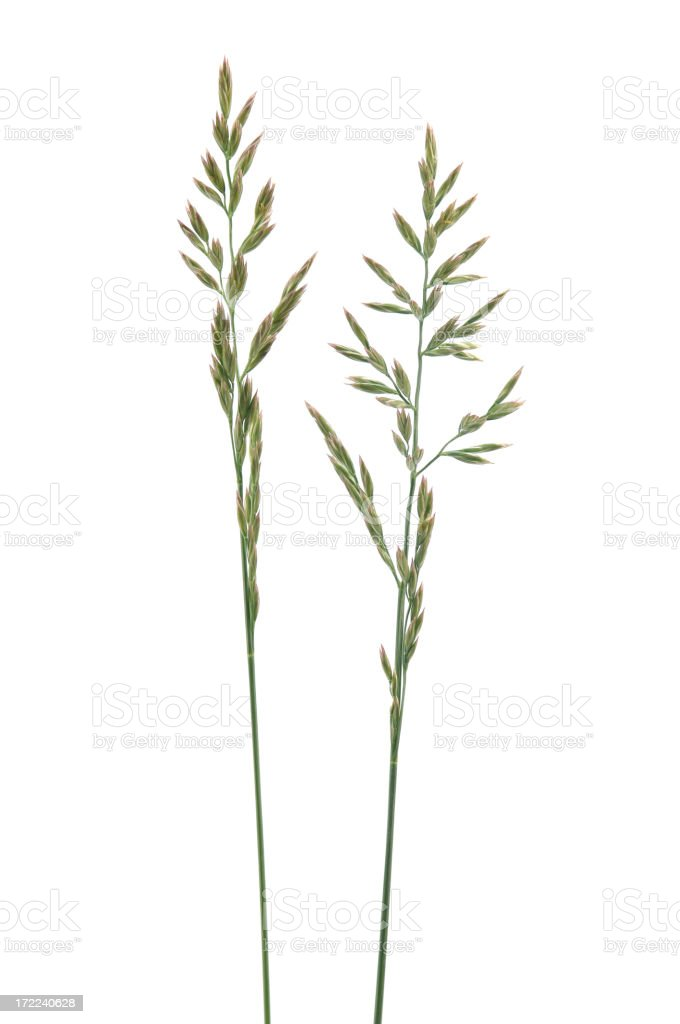 Grass Seed Stalks stock photo