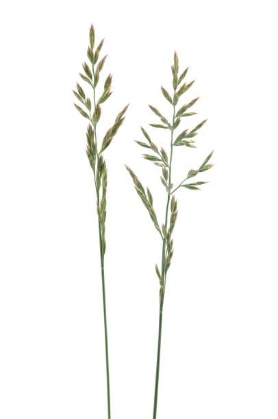 Grass Seed Stalks stock photo