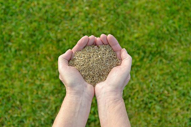 Grass seeds in hand – Foto