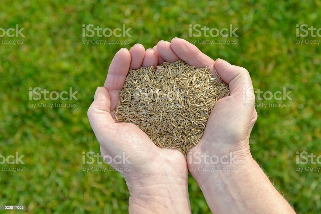 Grass seeds in hand stock photo