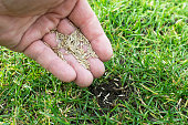 Grass seeds in the hand