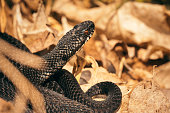 Autumnal portrait. Grass snake in the forest