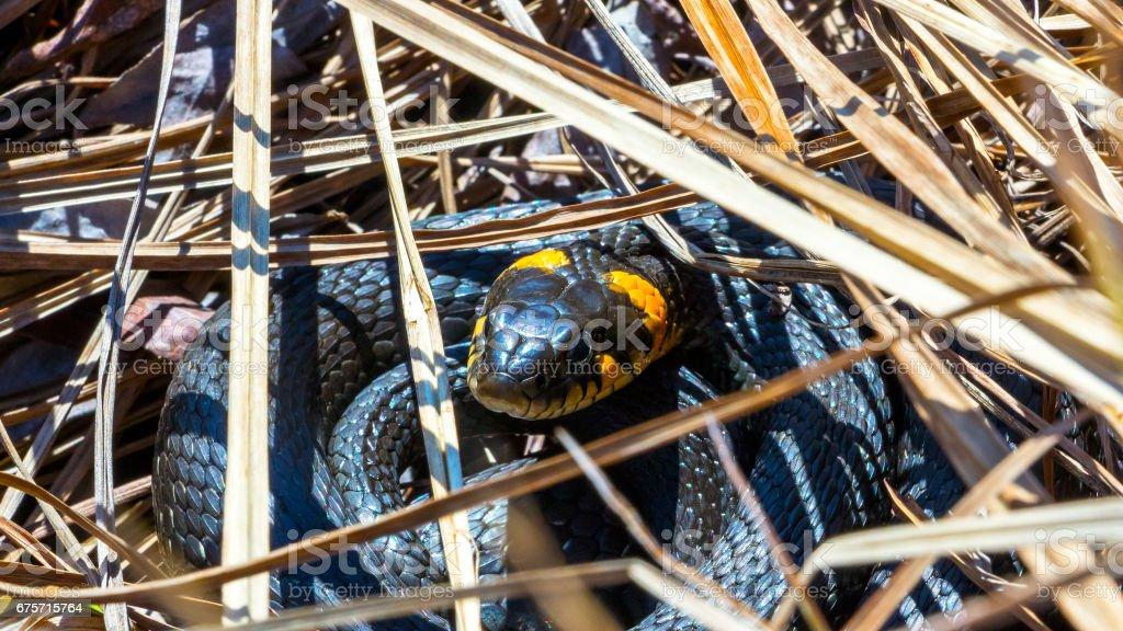 在野外草蛇 免版稅 stock photo