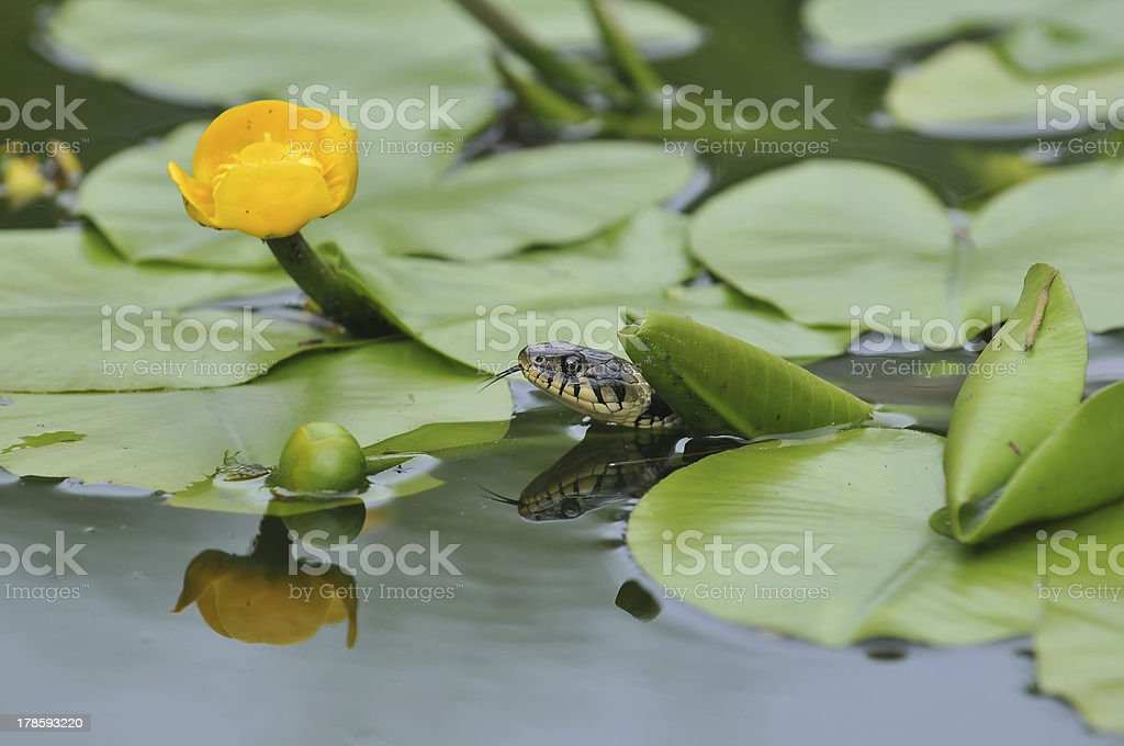 Grass snake ist hunting in the water stock photo
