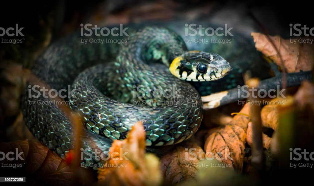 Grass snake, natrix. A useful reptile, a forest sanator, feeds mainly pests. stock photo