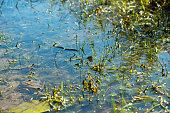 Grass snake, natrix natrix, swimming in a sunny lake.