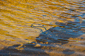 Grass snake, natrix natrix, swimming in a sunny lake..