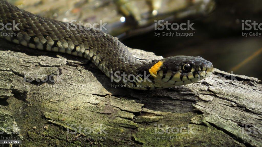 defc0e6e66c Couleuvre à collier (Natrix natrix) sur un journal dans l eau. Serpent