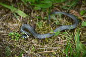 Young grass snake crawling on the grass