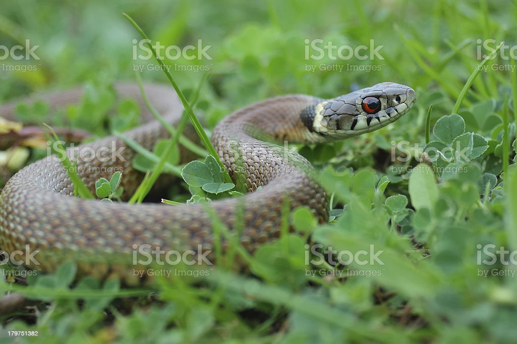 Grass snake royalty-free stock photo