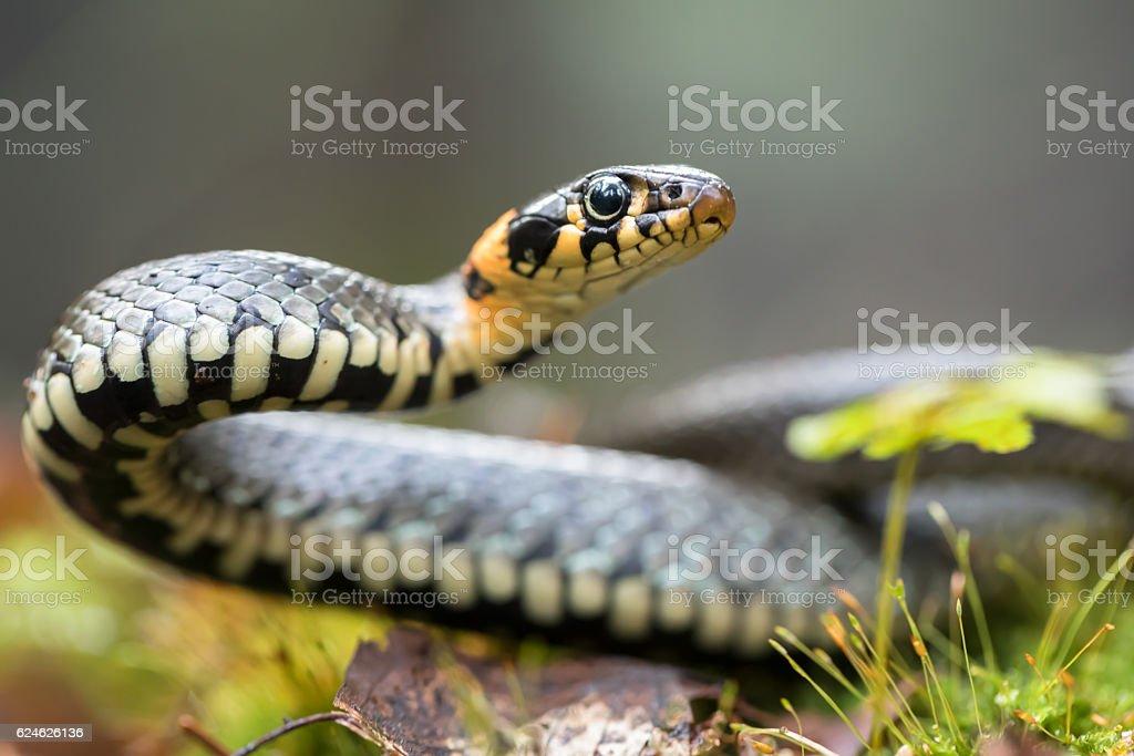 Serpiente de hierba  - foto de stock