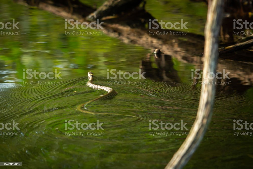 Grass snake swimming accross a lake in the UK. stock photo