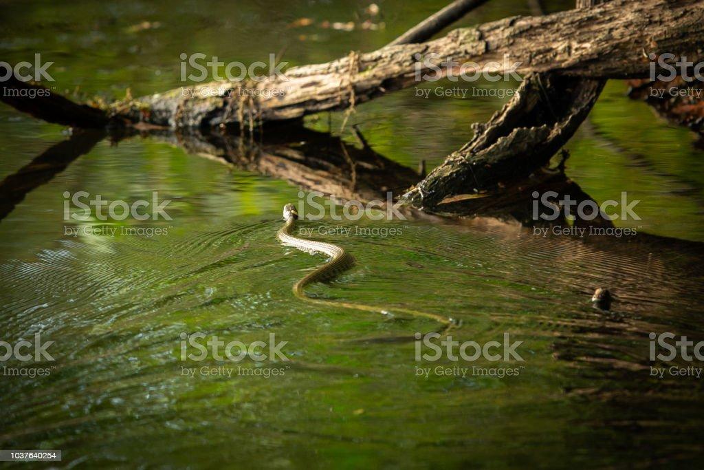 Grass snake swimming accross a lake. stock photo