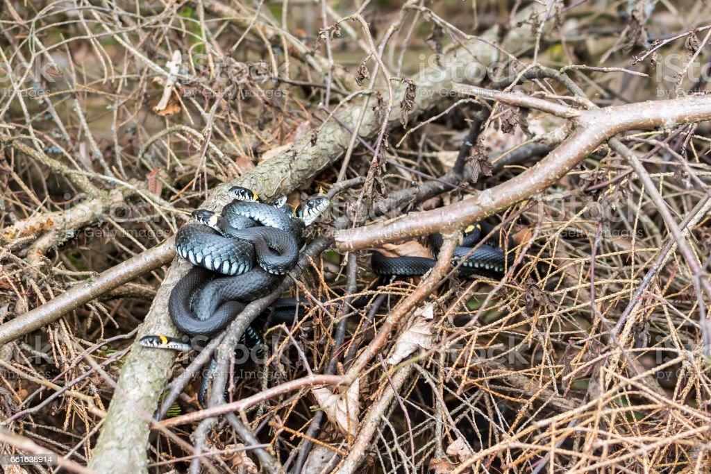 Grass snakes (Ntrix Natrix) in matting period stock photo