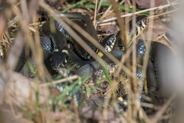 Grass snakes mating - foto stock
