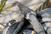 Grass snakes Natrix Natrix in Latin lies under sunshine on a wooden boards. Macro shooting. Small depth of sharpness