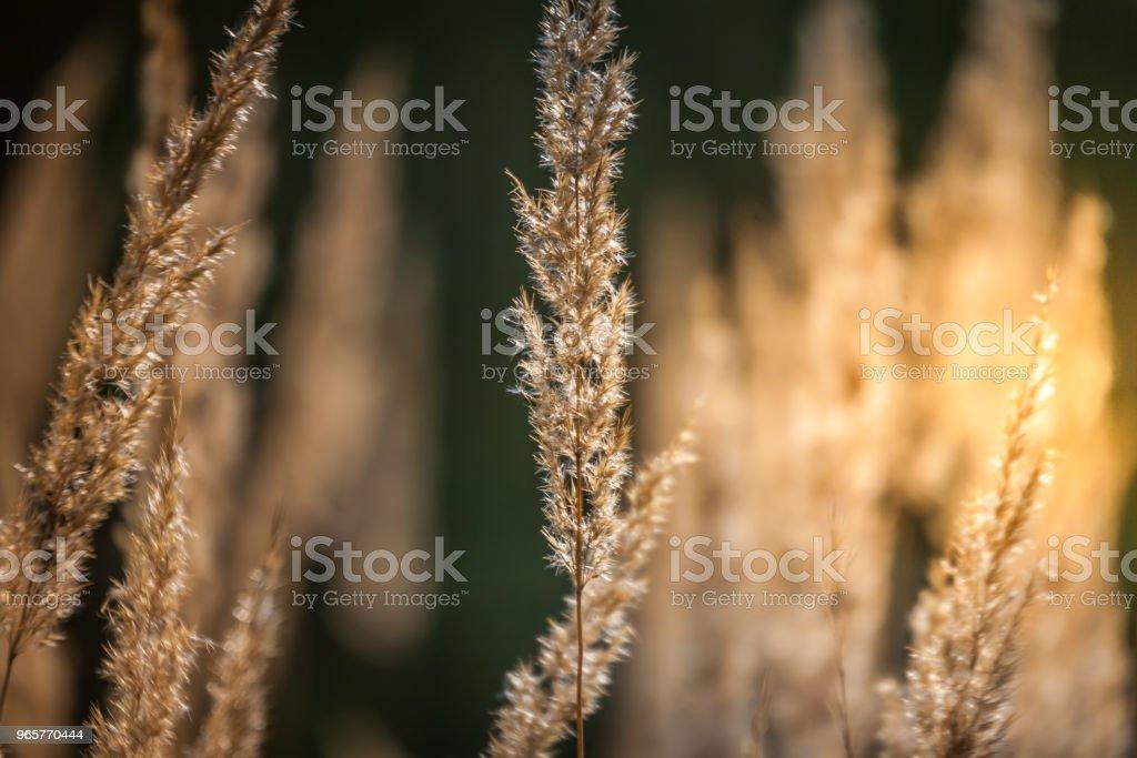 Gras, Spikelets, Sun, abstractie. Schoonheid in de natuur. - Royalty-free Abstract Stockfoto