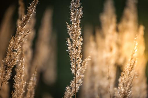 Gras Spikelets Sun Abstractie Schoonheid In De Natuur Stockfoto en meer beelden van Abstract