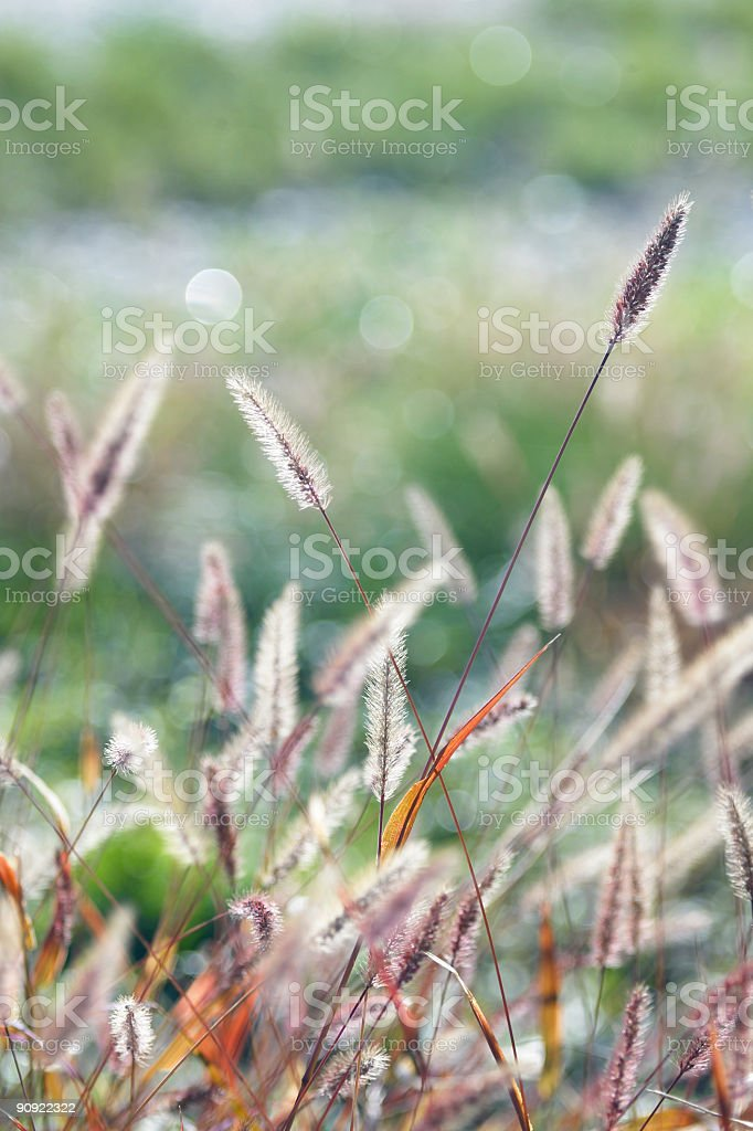 grass spikes royalty-free stock photo
