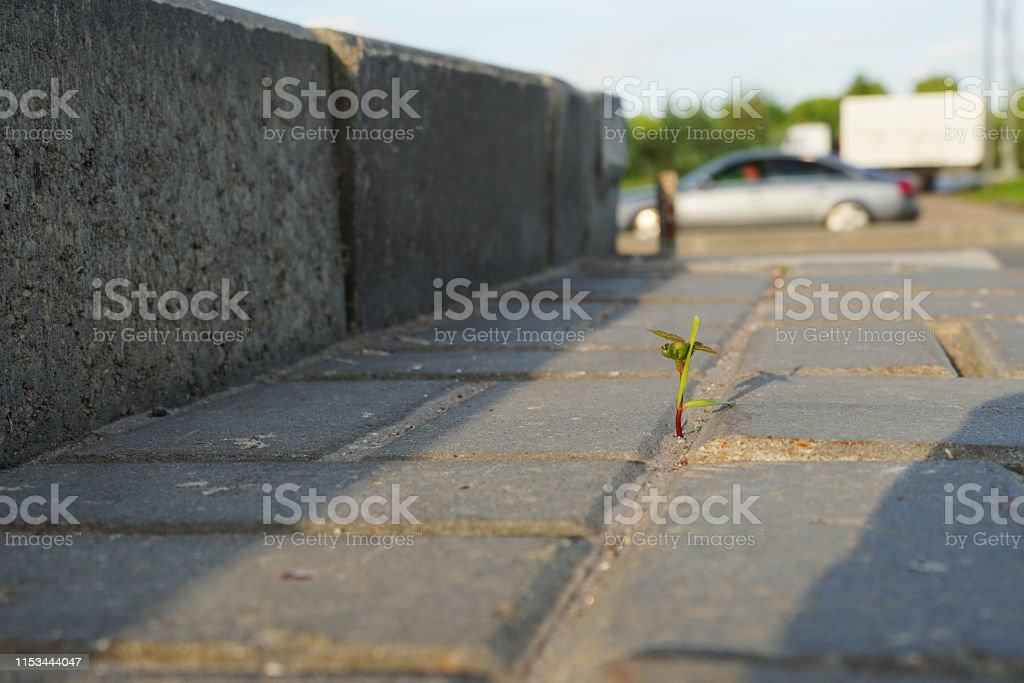 Grass sprout makes its way through asphalt. A young shoot breaks...