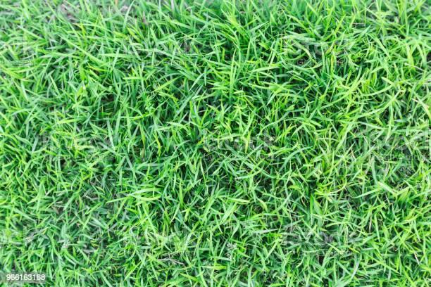 Gräs Textur Eller Gräs Bakgrund Grönt Gräs För Golfbana Fotboll Fält Eller Sport Bakgrund Koncept Design Naturligt Grönt Gräs-foton och fler bilder på Abstrakt