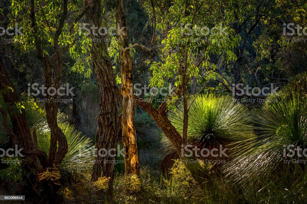 Grass Trees Perth Western Australia stock photo
