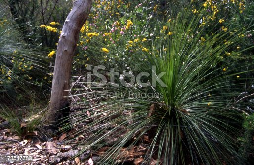 Australian grass tree or 'blackboy'