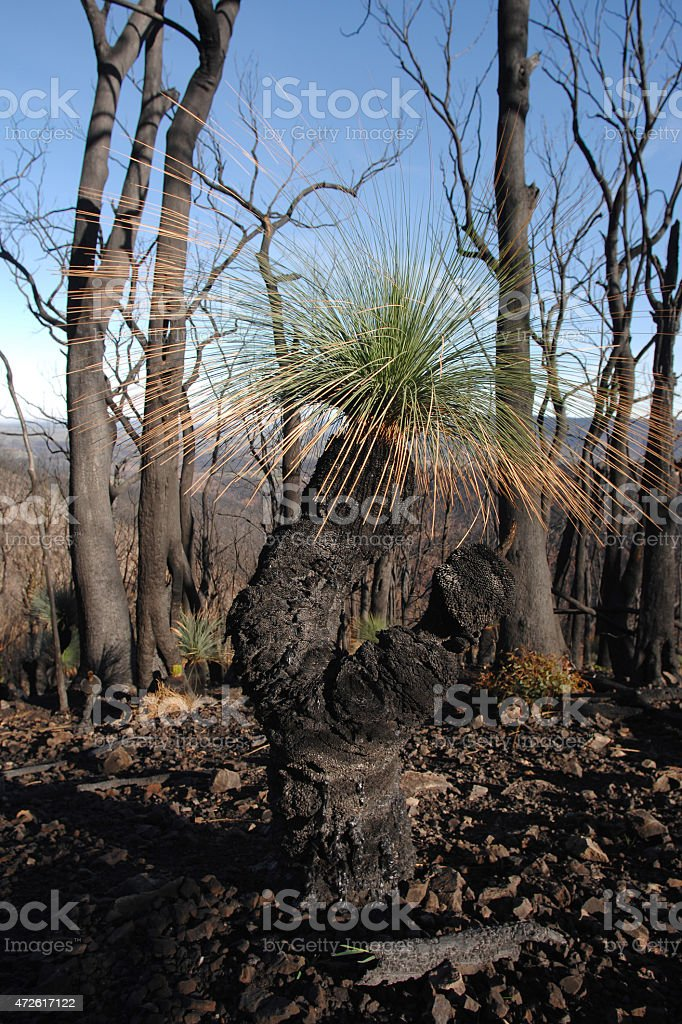 Grass trees, Xanthorrhoea australis, sprouting after fire stock photo