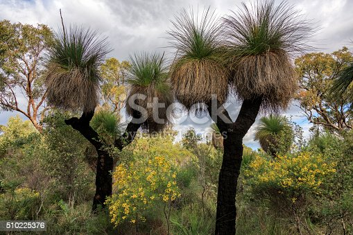 It is fairly unusual to see two headed grass trees but to see two together is very unusual.