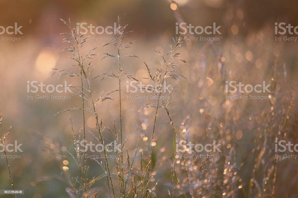 Grass with a Golden sheen at sunset closeup stock photo