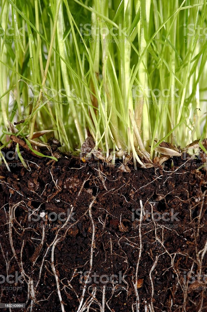 Grass with exposed roots growing down thru dirt soil closeup royalty-free stock photo
