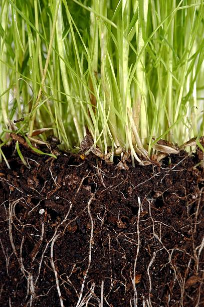 Grass with exposed roots growing down thru dirt soil closeup stock photo