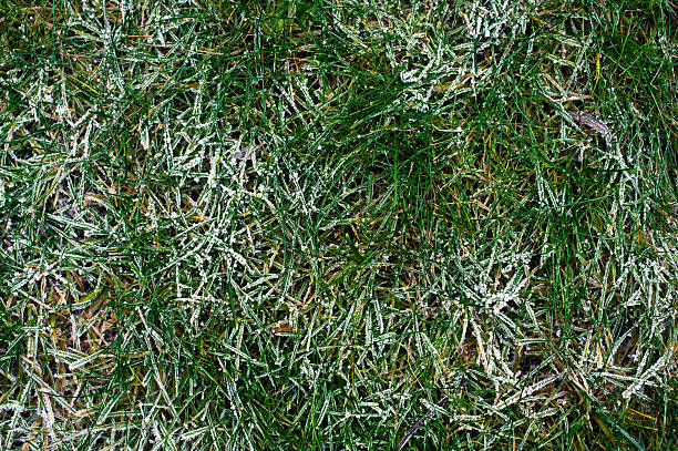 Grass with frost stock photo