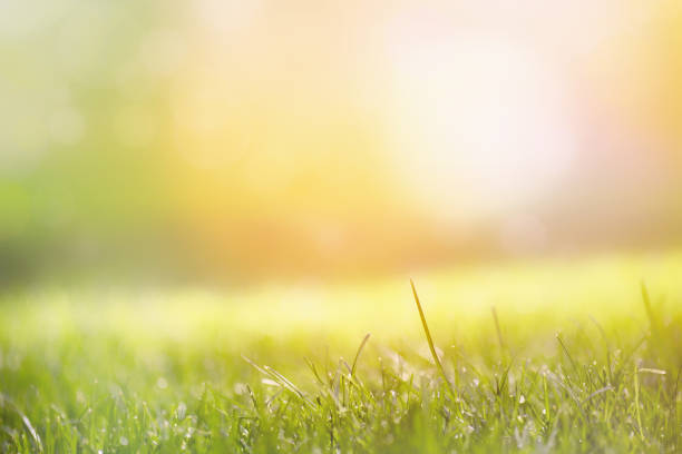 Grass with green blurry background in the morning stock photo