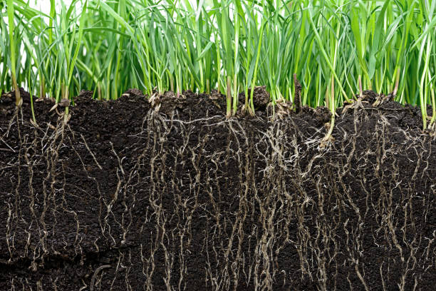 grass with roots and soil grass with roots and soil root stock pictures, royalty-free photos & images