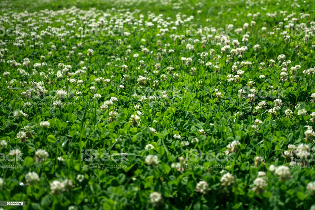 Gras Mit Weißen Blumen Stockfoto 493322079 | iStock