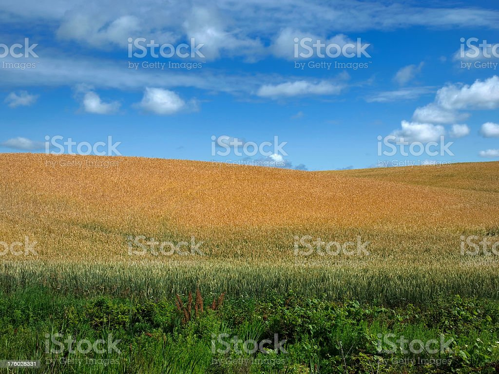 Grasses and Grains royalty-free stock photo
