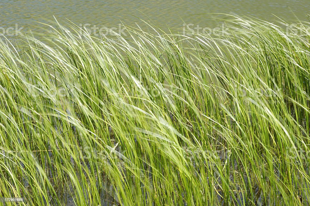 Grasses Growing in High Country Lake royalty-free stock photo