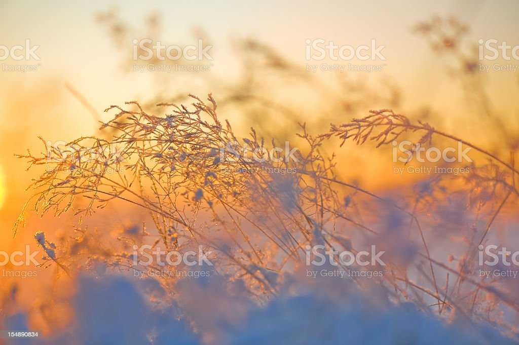 Grasses in snow royalty-free stock photo