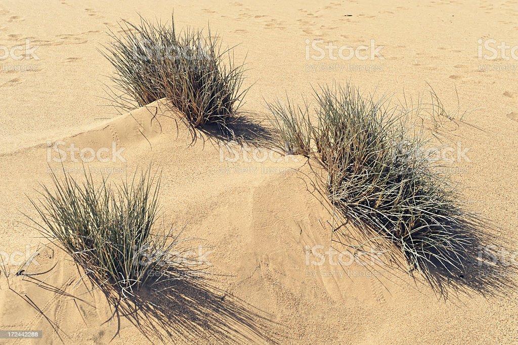 Grasses  in the desert royalty-free stock photo