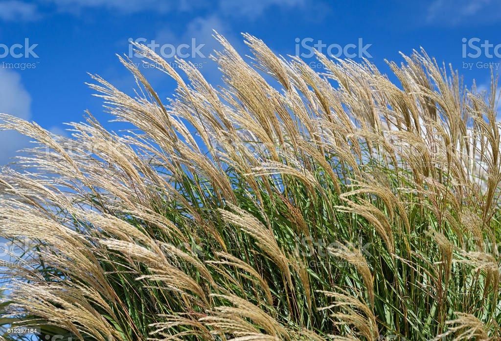 Grasses In Wind stock photo