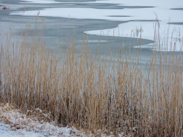 Grasses on the Frozen Shore stock photo