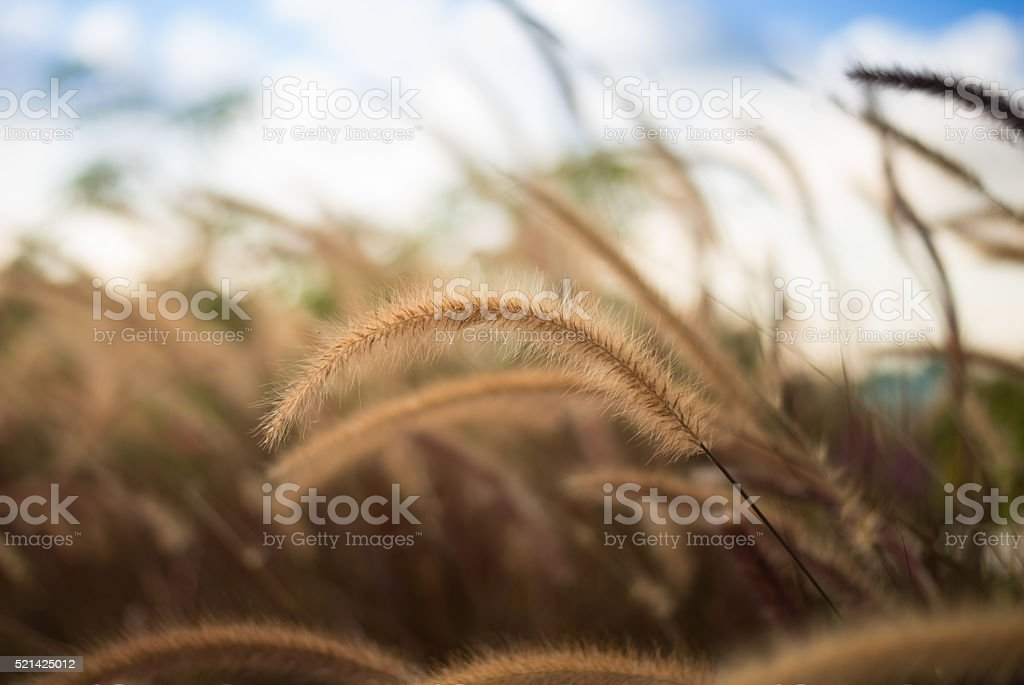 grassfield with blue sky stock photo
