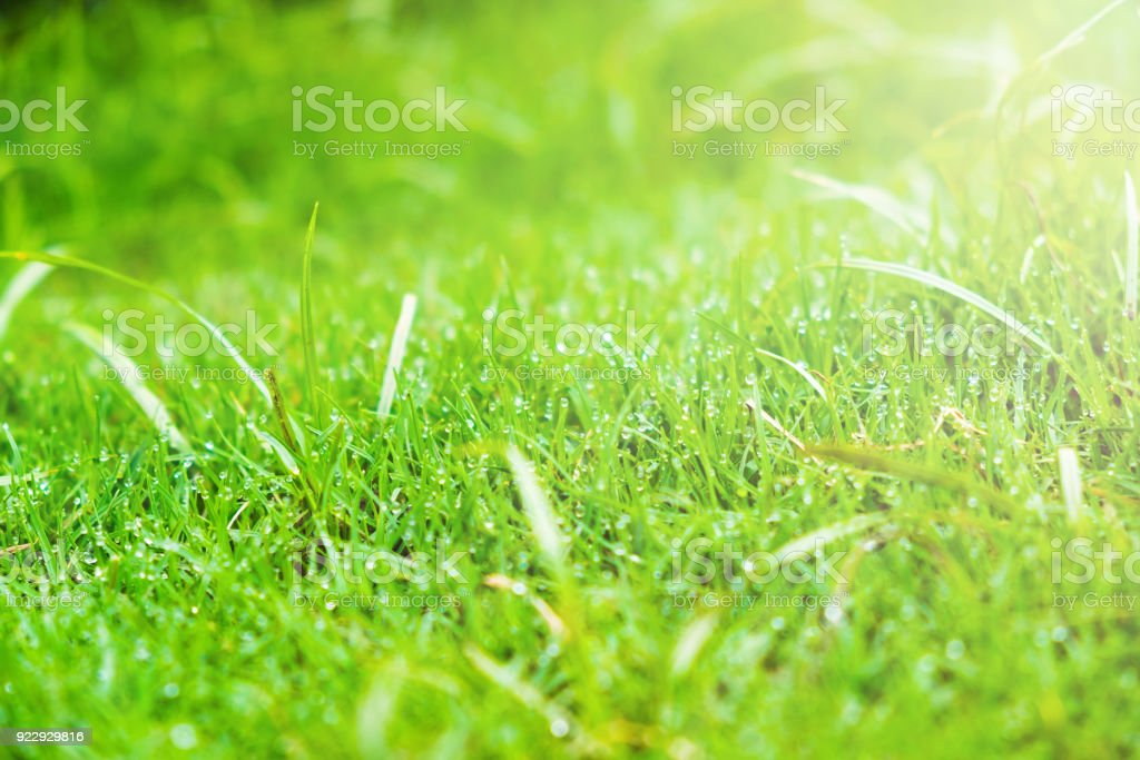Grass.Fresh green spring grass with drops water.Soft focus.Abstact Nature background stock photo