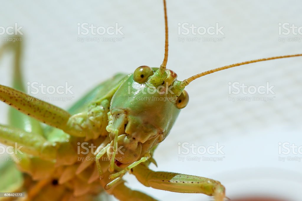 Grasshoper closeup stock photo